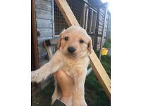 Stunning miniature labradoodle puppies