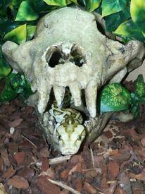 Hypo Burmese python with vivarium