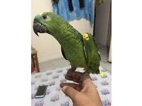 Beautiful handreared Amazon talking parrot