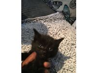 Beautiful black kittens female and male left