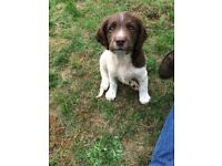Pedigree Family Springer Puppies Ready Now!