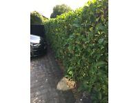 Laurel hedging, 20 plants 5ft high, dig & collect