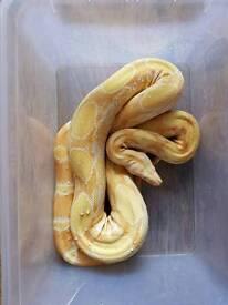 cb14 female sharp albino