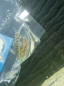 4 decent sized yoyo loaches reduced