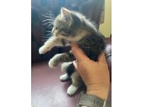 Kittens, litter trained, wormed and weaned