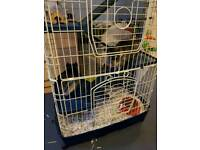 Sister chinchillas for sale