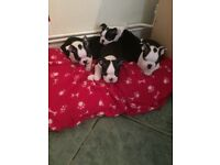 Stunning kc registered Boston Terrier pups for sale, 3 girls and 1 boy left ready to go 22/12/2017