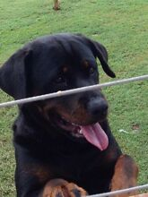 Natural bobtail Rottweiler New Beith Logan Area Preview