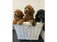 3 Cavapoo pups incredible example of the breed