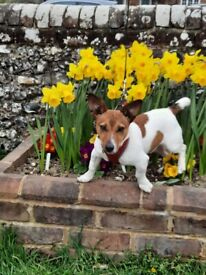Charlie - 7 Months Old Jack Russell