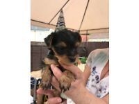 Miniture Yorkshire Terrier Pups. Both Female Sorry all SOLD