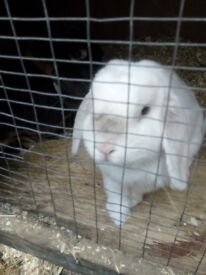 2 mini lop-eared rabbits