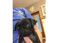 Pug Pus for sale