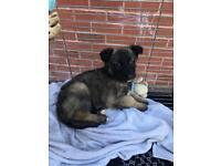 German shepherd Belgian malinois puppy
