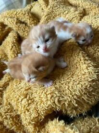 3 ginger male kittens for sale