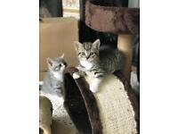British short hair kittens (mother full and father half pedigree)