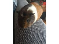 Free male 18 month old friendly Guinea pig