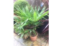 PRICE REDUCED, LAST FEW LEFT! Hardy Healthy Trachycarpus Fortunei Palms. £40 each or 2 for £70