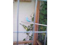 Aviary budgies x3