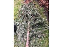 Free pine