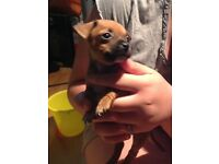 Adorable chihuahua X pug puppy