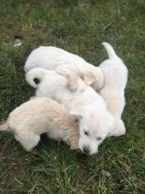 Crossbred Labrador and golden retriever pups forsale