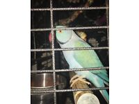 Male indian ringneck fully tame and talk