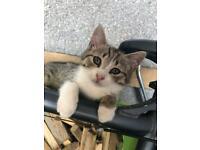 Half British shorthair kittens for sale