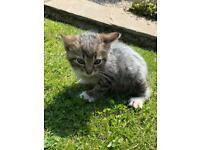 One left Short haired fluffy kitten domestic