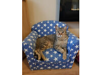 Bengal cross tabby Male