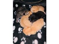 Beautiful litter of 5 kittens