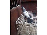 Pakistani pigeons 4 sale.LEEDS