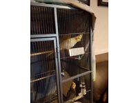 3 cockatiels 3budgies and laege cage