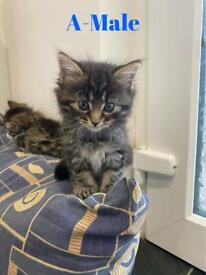 Beautiful maine coon cross kittens