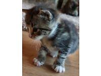 Male kitten. Maine coon/ragdoll mum. Russian blue/ silver tabby dad.