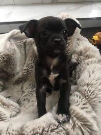 Chihuahua cross Jack Russell Girl 10weeks