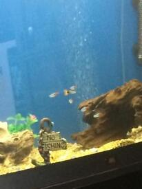 Baby guppies