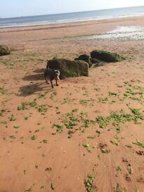 KC Blue Staffordshire bull terrier