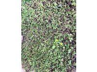 Sedum matting for green roof HALF PRICE