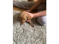 Cockapoo puppies only 2 boys left