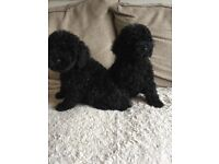 For sale f1b cockerpoo puppies