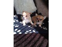 Chihuahua cross yorkie puppies