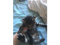 3 kittens for sale (from 30th March)