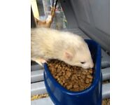 Beautiful ferret looking for forever home