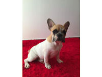 KC French Bulldog white/red pied