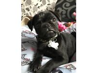 Male black kc reg pug with papers 12 weeks old