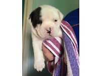American bulldog puppies ( only 2 left)! ❤