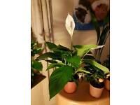 Spathigulum - peace lilies.