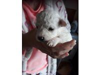 Bichone frise puppys