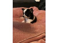 Chihuahua puppies 2 girls